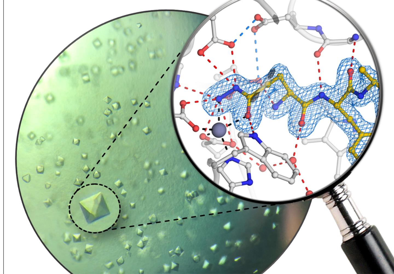 Proteinkristalle des humanen Enzyms Glutaminylzyklase und atomare Struktur des neuen Inhibitors.
