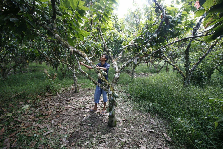 Kakao-Agroforest auf Sulawesi (Indonesien).