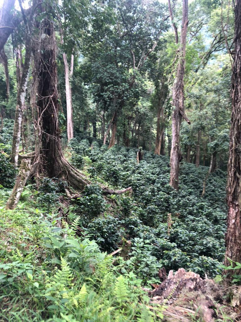 """Agroforst-System nahe """"Sierra de Agalta"""", Olancho, Honduras: Kaffee-Pflanzen ersetzen den Bodenbewuchs im Primär-Regenwäldern."""