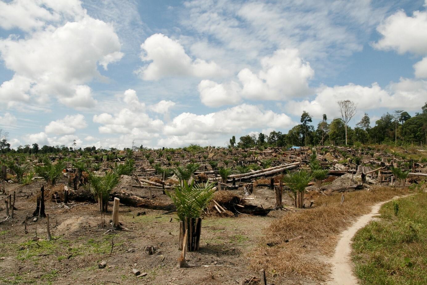 Junge Palmöl-Plantage mit Baumresten des abgeholzten, ursprünglichen Waldes.