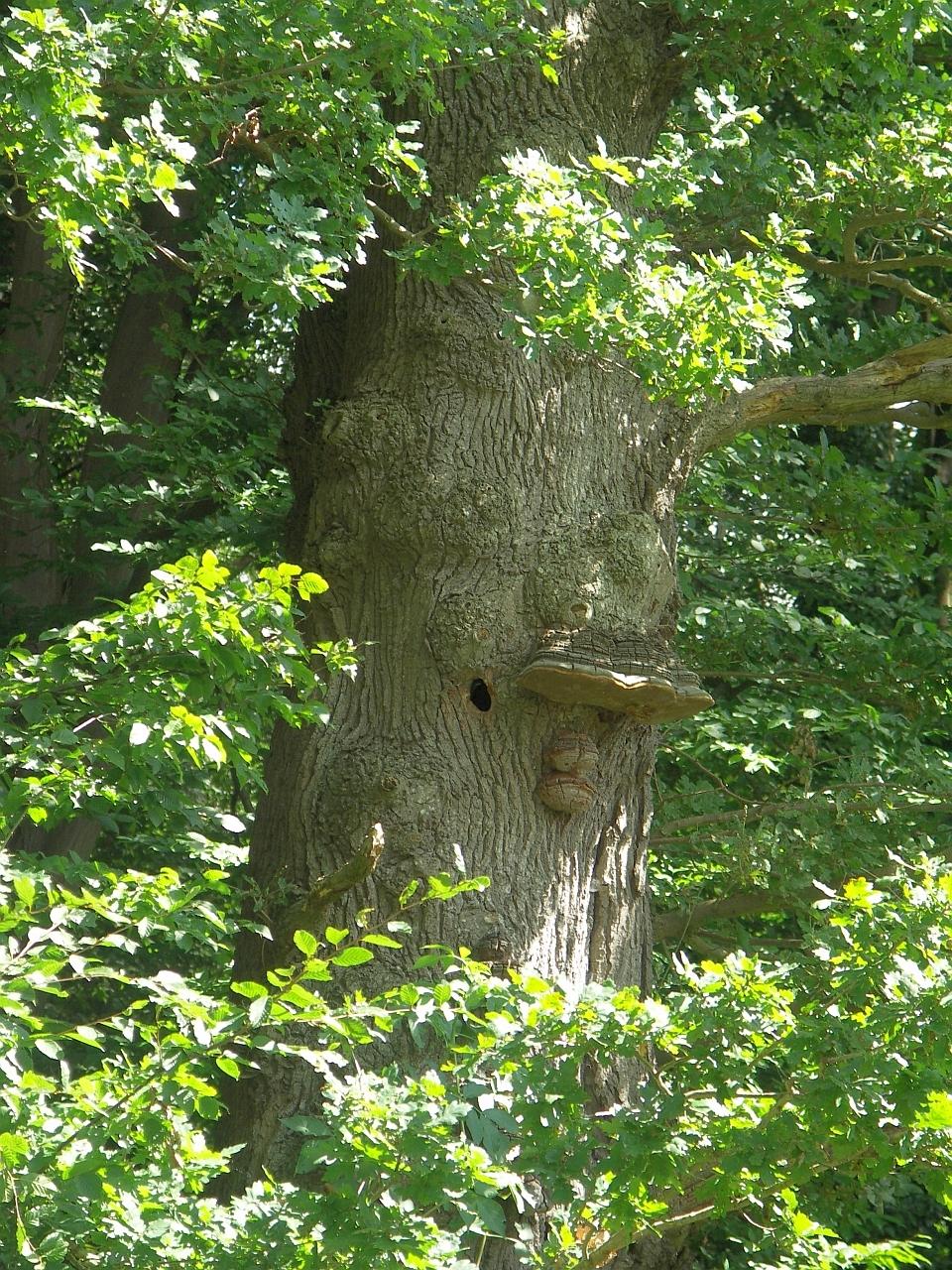 Eichen-Habitatbaum mit Spechthöhle und Konsolenpilzen.