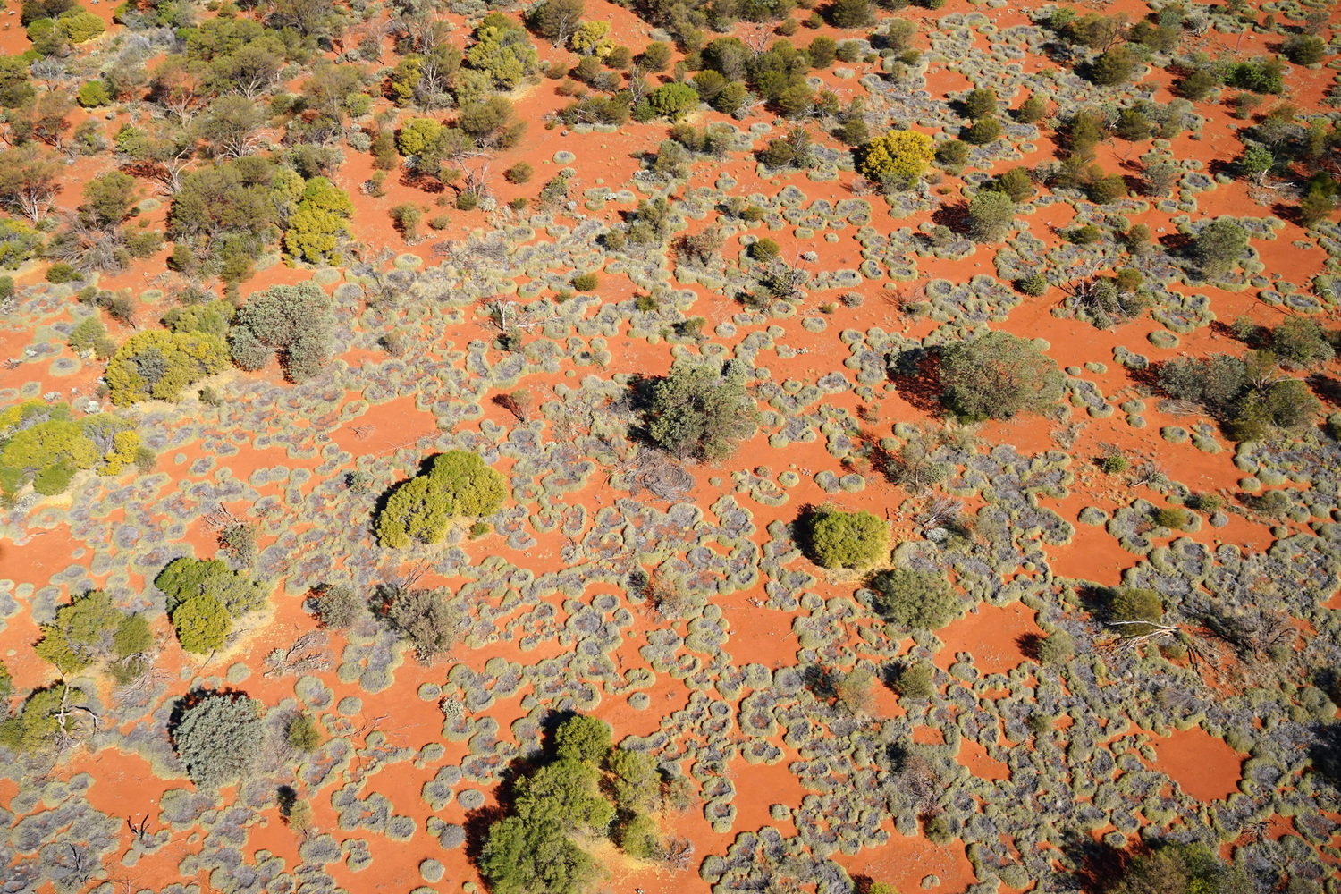"The active formation of nearly circular grassland gaps (fairy circles), as seen from a helicopter. At this transition from Eucalypt and Acacia trees to a Triodia grassland, the hummock grasses arrange themselves to form round bare-soil gaps. This ""ecoystem-engineering"" results in the most green and vital grasses growing next to the fairy circle while grey and less vital grasses further away cannot benefit from this extra source of water in the same way."
