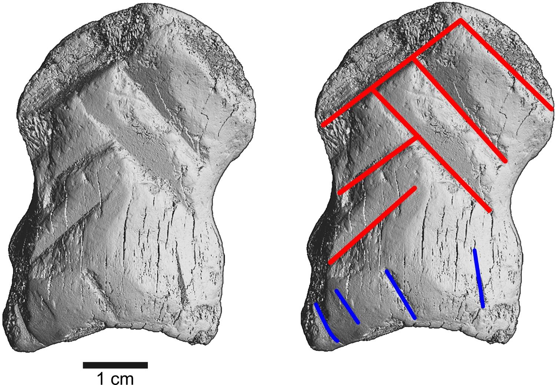 microCT-Scan mit Markierung der Einkerbungen. Rot markiert sind die sechs Kerben, die das Winkelmuster erzeugen, blau markiert sind begleitende Kerben.