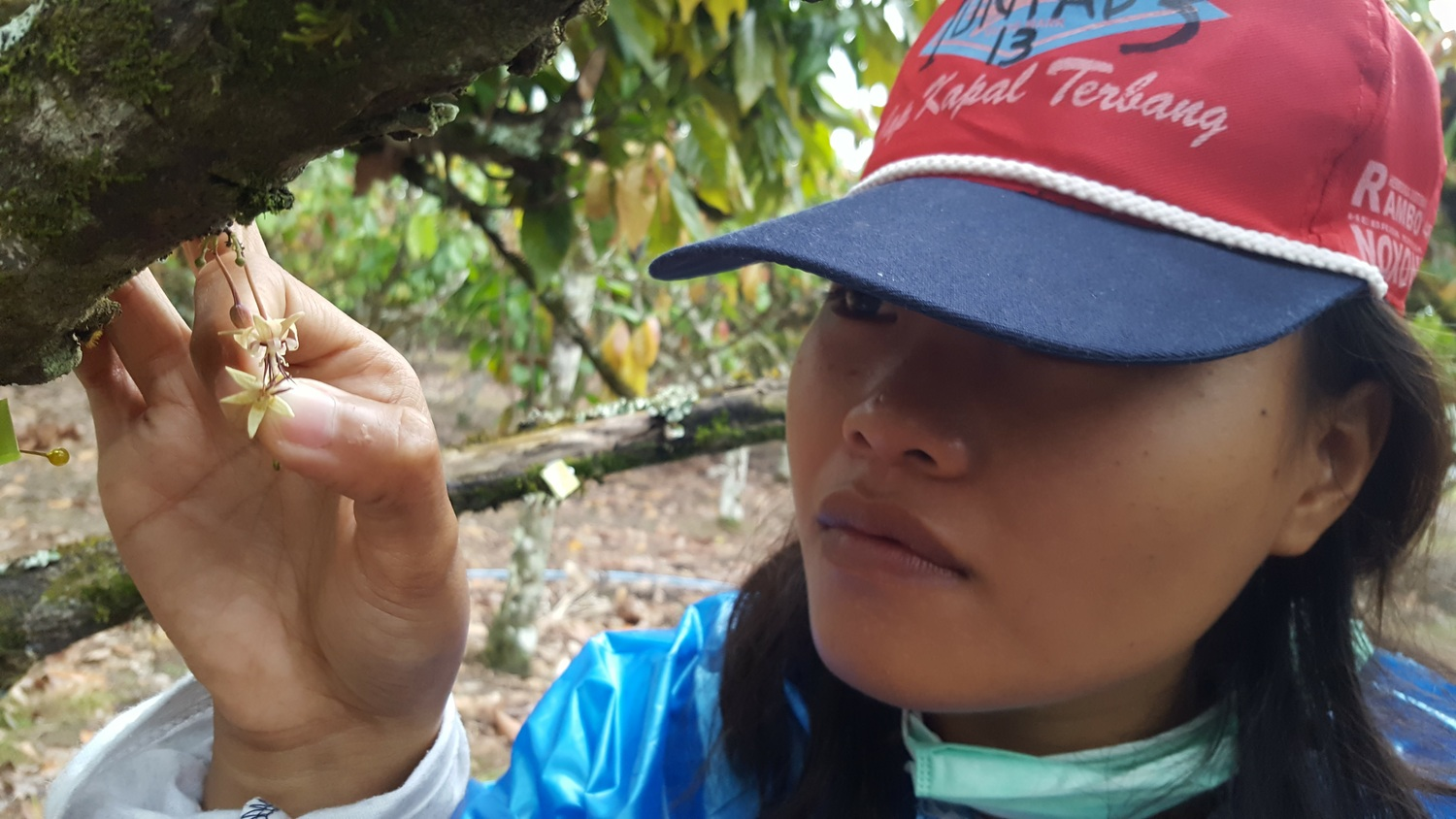 Hand-pollination of cacao in Indonesia. Good eyesight is required for this, as the flowers are tiny.