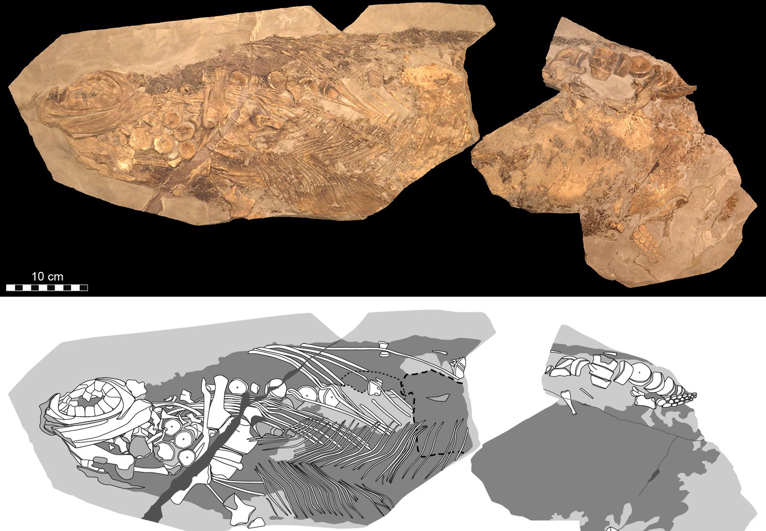 Spectacular soft-tissue fossil (MH 432; Urweltmuseum Hauff, Holzmaden, Germany). Cells, cellular organelles and original biomolecules have been discovered in preserved soft parts of an approximately 180-million-year-old ichthyosaur (literally 'fish-lizard'). Photographic (top) and diagrammatic (bottom) representation of the 85-cm-long fossil (which corresponds to roughly half of the original length of the animal). Courtesy of Johan Lindgren.