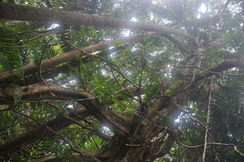 Blick in einen Regenwald mit einem mehrstämmigen Feigenbaum.