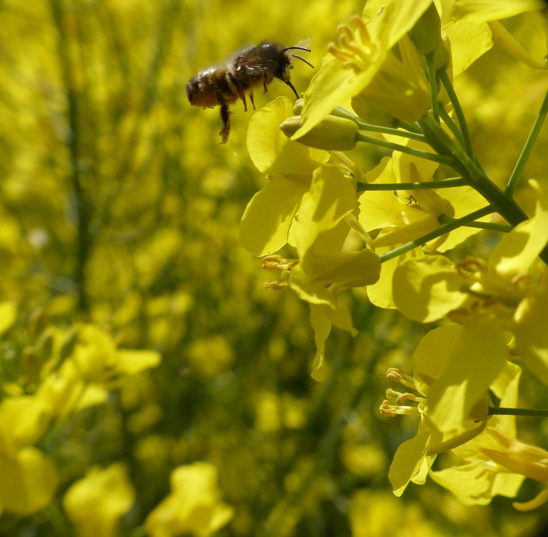 Solitäre Wildbiene an einer Rapsblüte.