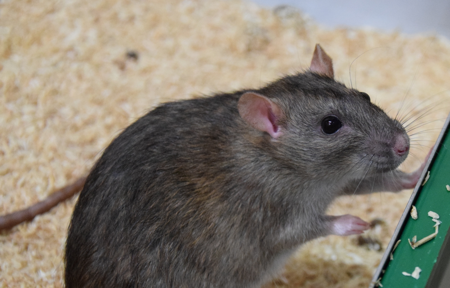 Norway rats (Rattus norvegicus), like most species of rat, are very sociable and cooperate to help each other out