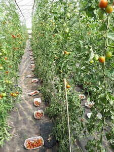 If we want to know about flavour, the variety of tomato is the most important consideration
