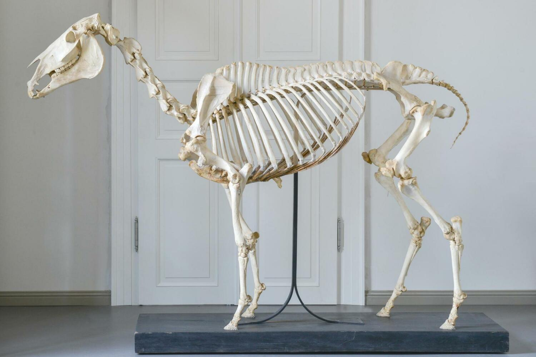 In der haustierkundlichen Sammlung der Martin-Luther-Universität Halle-Wittenberg werden die sterblichen Überreste wie Skelett, Herz und Haut von Dark Ronald XX aufbewahrt.