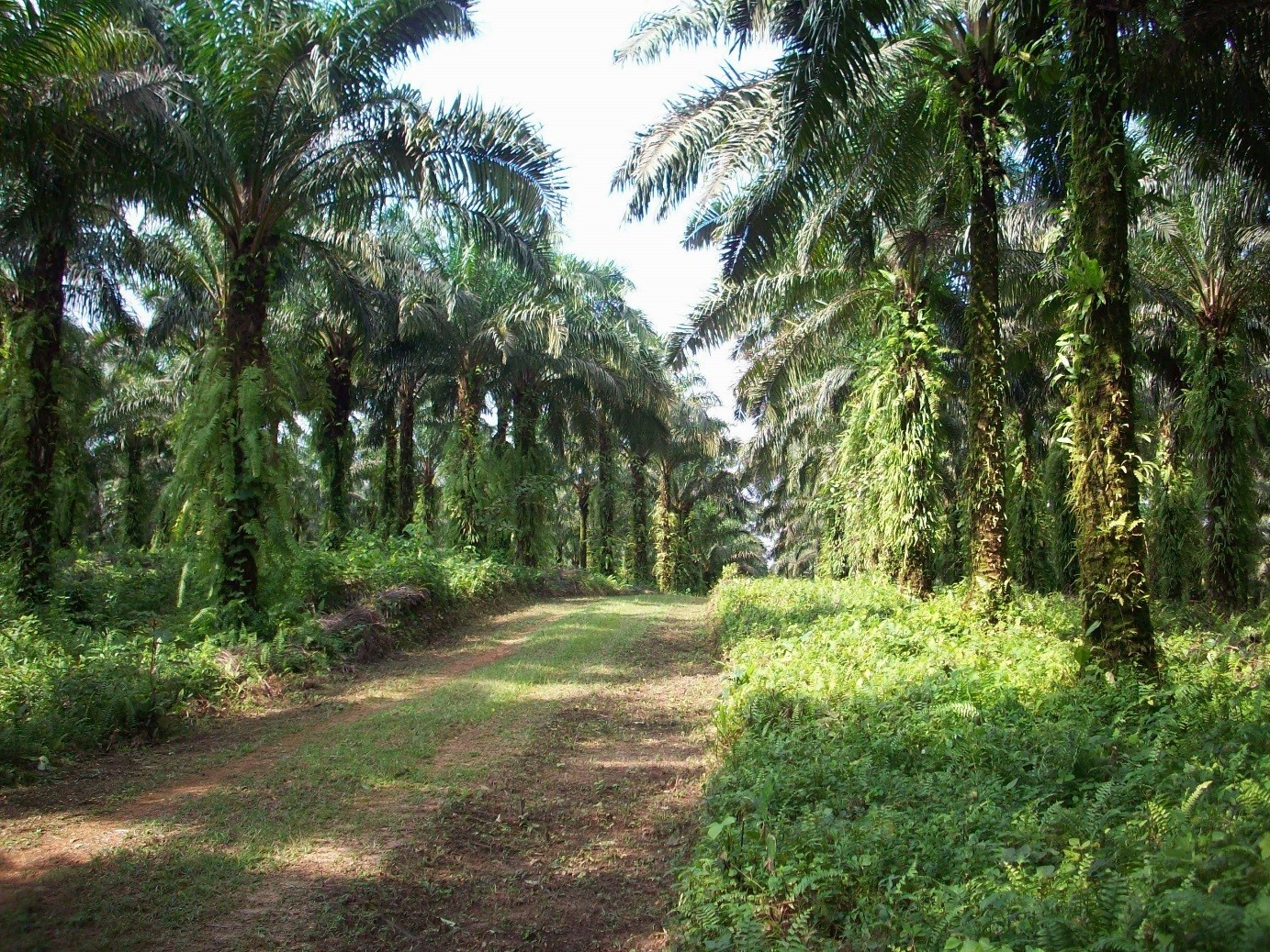 Part of the data collection took place in an industrial oil palm plantation, which was home to only small proportions of the native bird species.