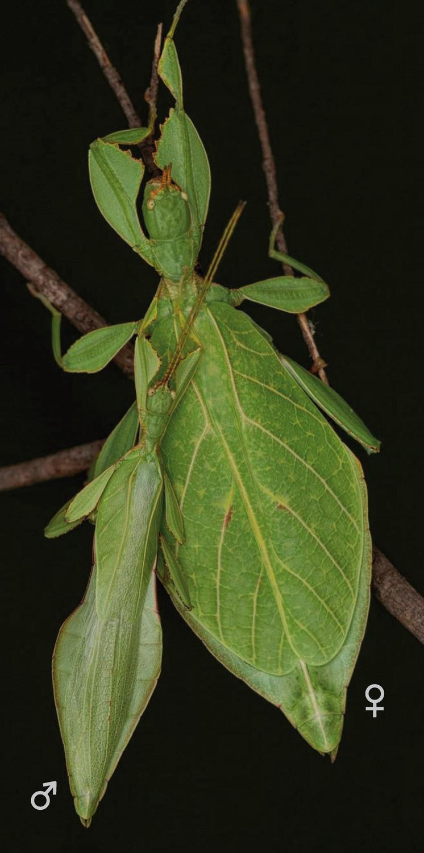 Paar des Wandelnden Blattes Phyllium rubrum von der Malaiischen Halbinsel. Die Männchen (links) dieser Insekten sind stets deutlich kleiner als die Weibchen.