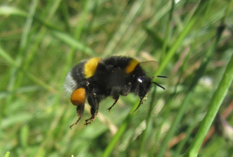 Die Forscher untersuchten die Gewichtszunahme und den gesammelten Pollen der Hummelvölker.
