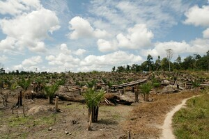 Young palm oil plantation with remains of the trees from the original forest that was cut down