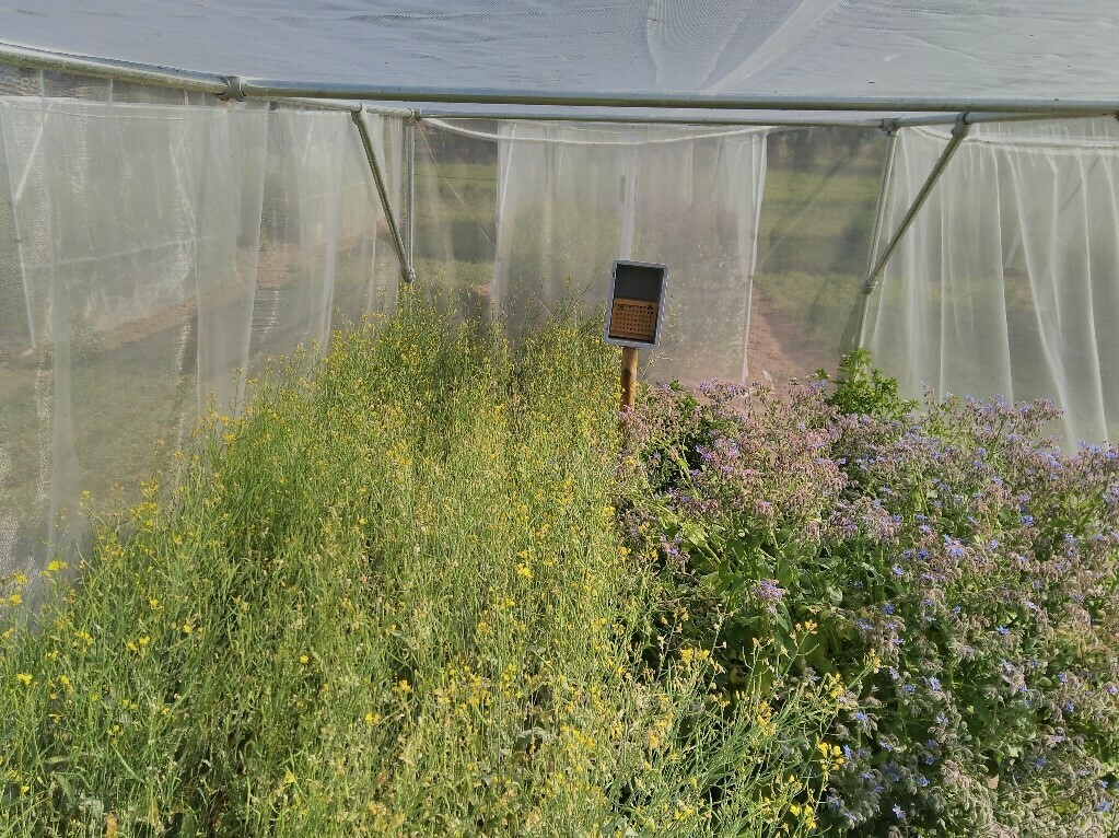 Inside one of the enclosure cages: flowering oilseed rape, flower mixture and nest for wild bees