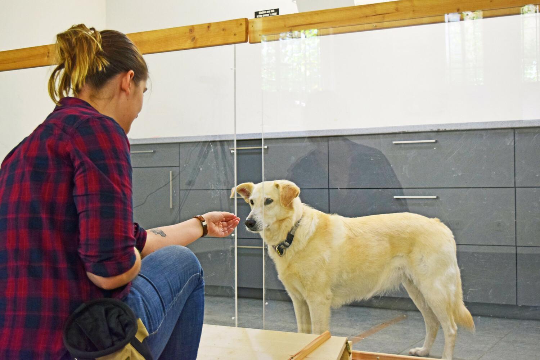 Die Hunde erhielten Futterstücke durch die Öffnung in der Trennwand, bis die Versuchsleiterin die Futterstücke plötzlich absichtlich oder unabsichtlich nicht mehr fütterte.