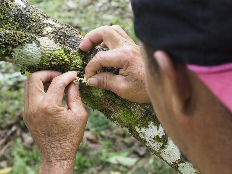 """Indonesische Landwirte in """"Central Sulawesi"""" bestäuben Kakaopflanzen. Hier werden Blüten auf Blüten gedrückt, um Pollen zu übertragen (Der Stempel wird mit dem Pollen einer anderen Blüte in Kontakt gebracht)."""