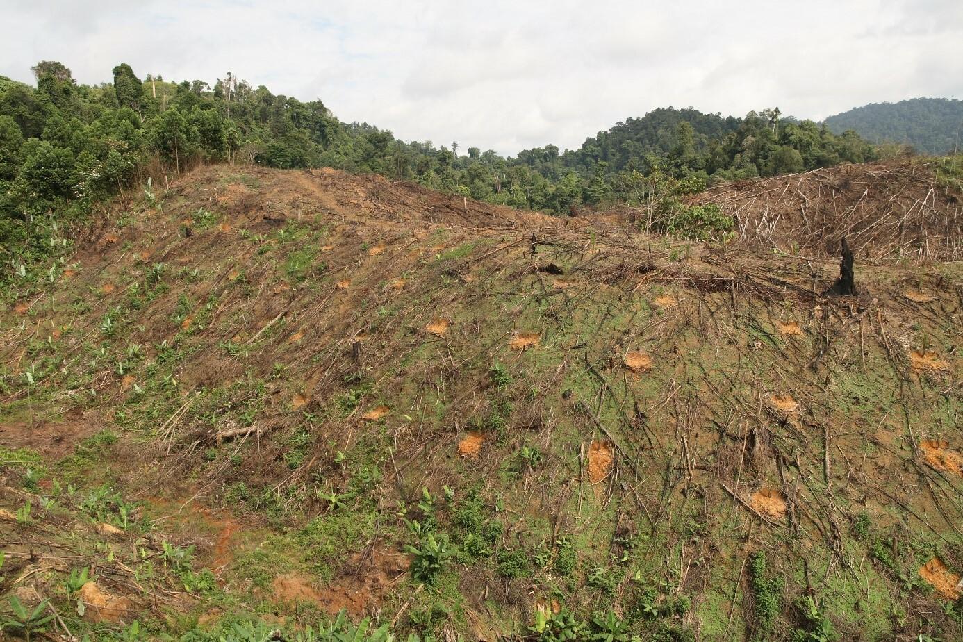 Frisch gepflanzte Ölpalmen auf kürzlich entwaldetem, stark verwittertem Boden in den Tropen.
