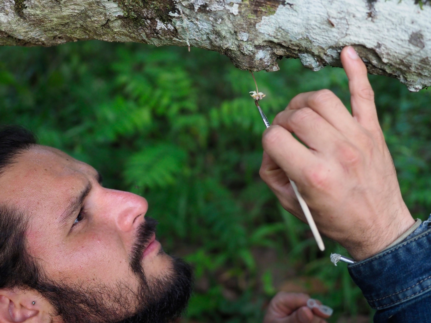 Manuel Toledo-Hernandez, first author and PhD student in Agroecology at the University of Göttingen, pollinating a cocoa flower by hand