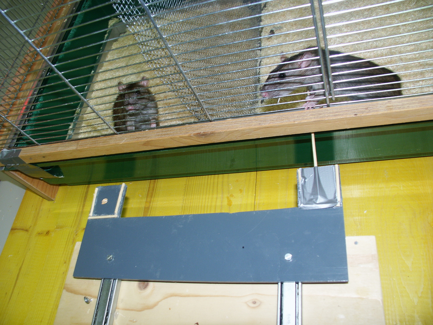 One rat (on the right) provides help by pulling the platform so the other one (on the left) can reach thetreat (an oat flake in this case). The pulling rat does not get any immediate benefit from helping - she can only hope to get a favour in return later.