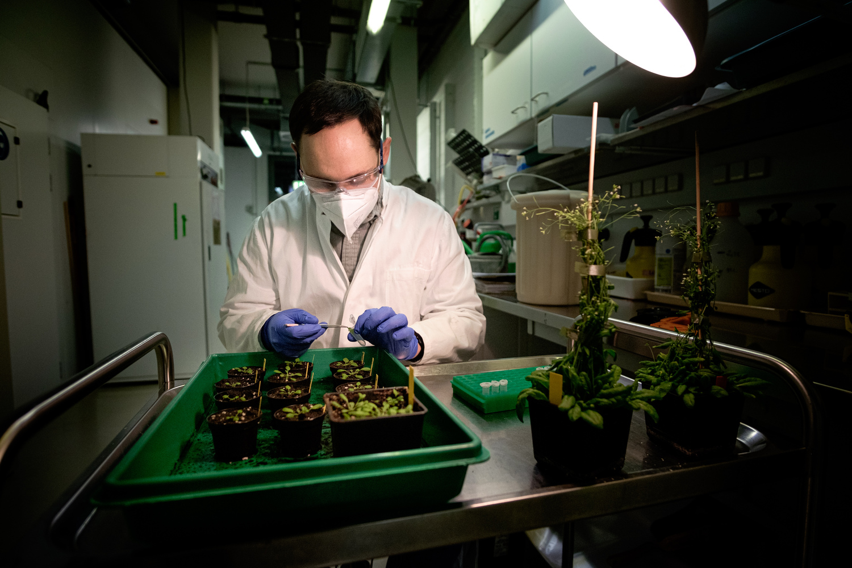 Lennart Mohnike sammelt Blattmaterial von bakteriell infizierten Pflanzen.
