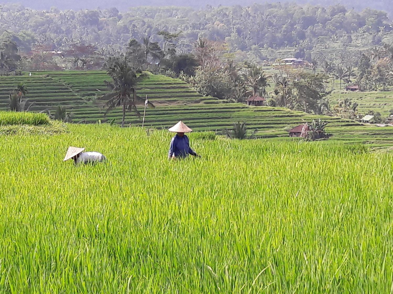 Reisanbau in Indonesien: Arme Menschen ernähren sich oft vorwiegend von Grundnahrungsmitteln.