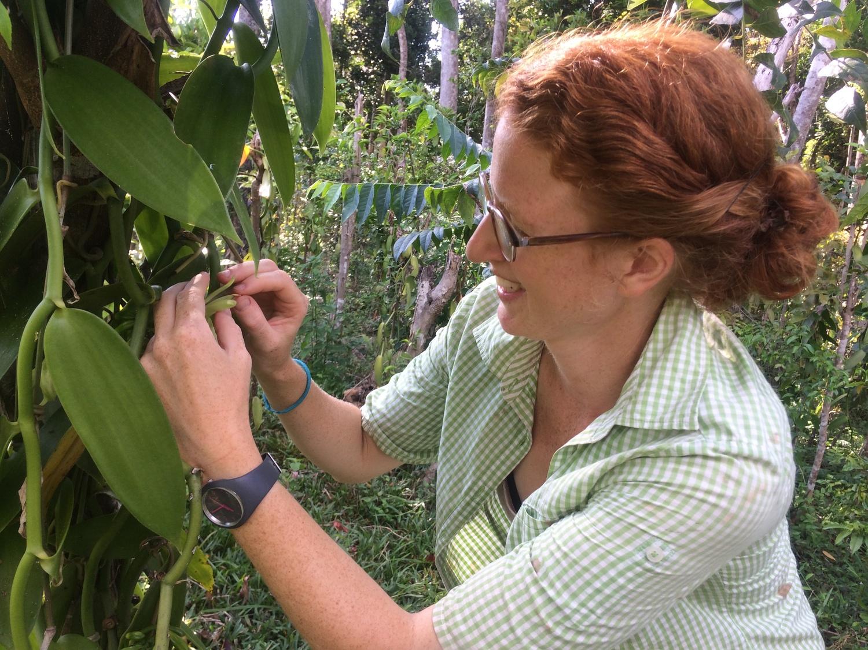 Doktorandin Annemarie Wurz bestäubt per Hand eine Vanilleblüte in Madagaskar. Hierfür wird ein Orangendorn verwendet, um das Rostellum anzuheben und der Daumen um Staubbeutel und Narbe zusammenzudrücken.