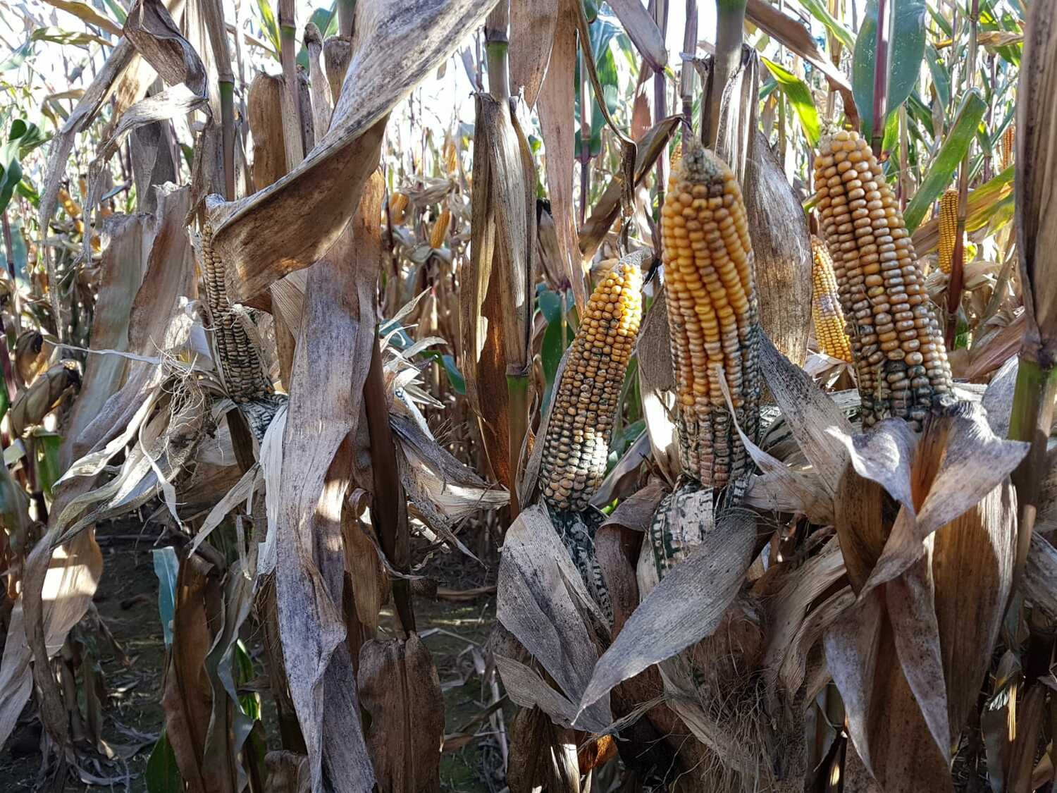 Researchers at the University of Göttingen have discovered that the spores of the fungus Trichoderma, which is contained in some organic plant protection products, can cause severe cob rot in maize (corn).