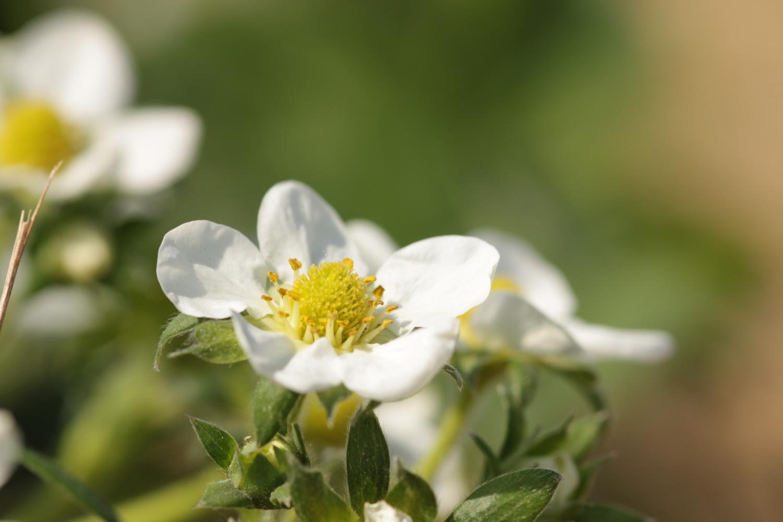 Für die Studie haben die Forscherinnen und Forscher im Raum Göttingen und Kassel Bienen in Erdbeerfeldern beobachtet.