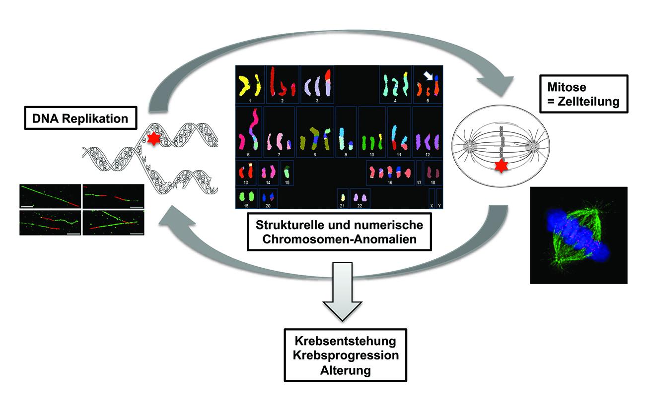 Die neue Forschungsgruppe an der UMG untersucht die Zusammenhänge zwischen der DNA-Replikation und der mitotischen Zellteilung, um Entstehung von Chromosomenanomalien zu verstehen.