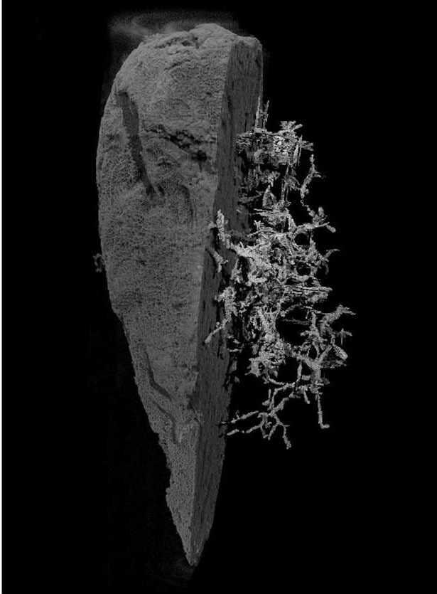 The sponge tissue has been digitally removed from the right side of the model in order to visualize the specimen.