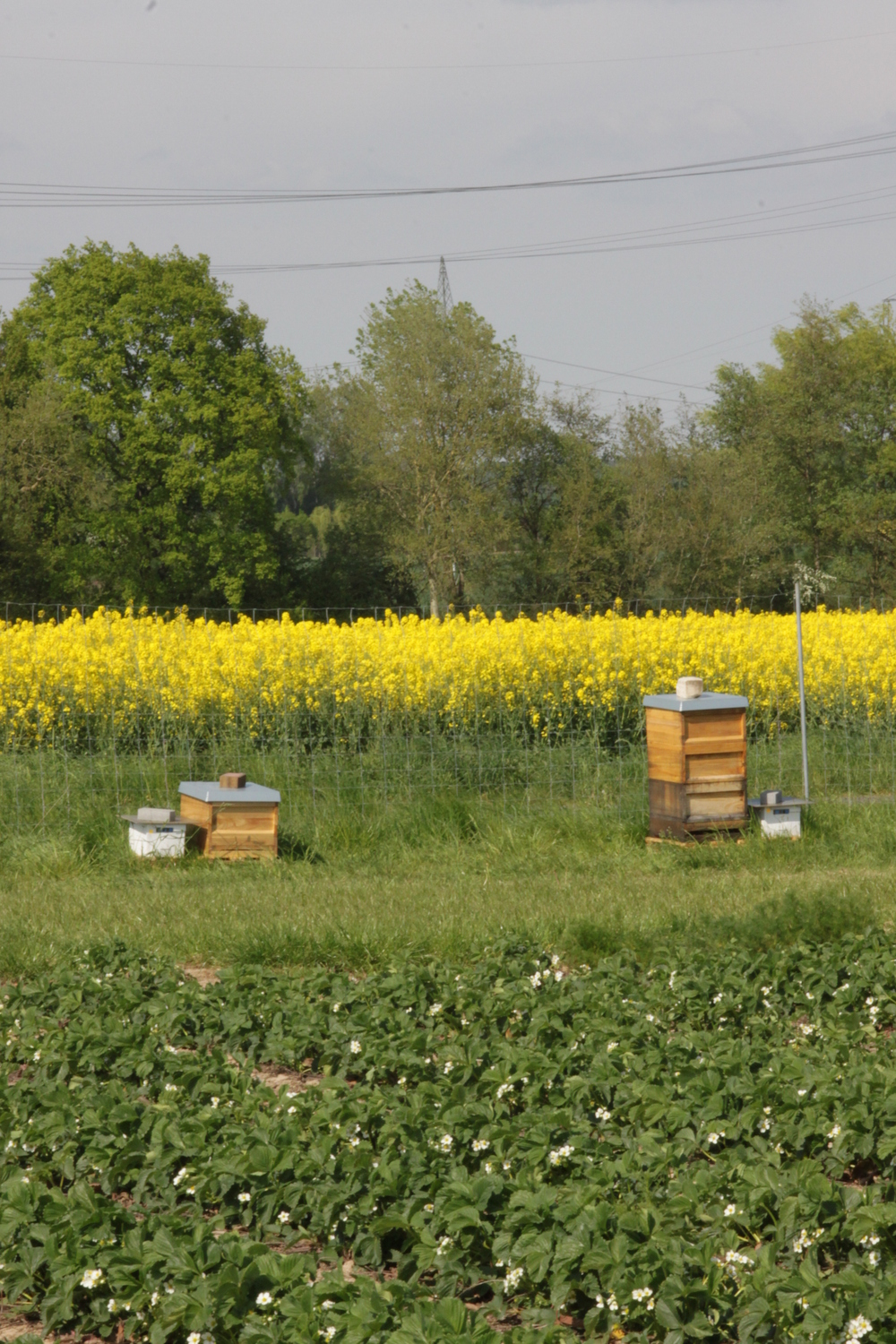 The research team put honey bees and bumble bees colonies next to an experimental field.