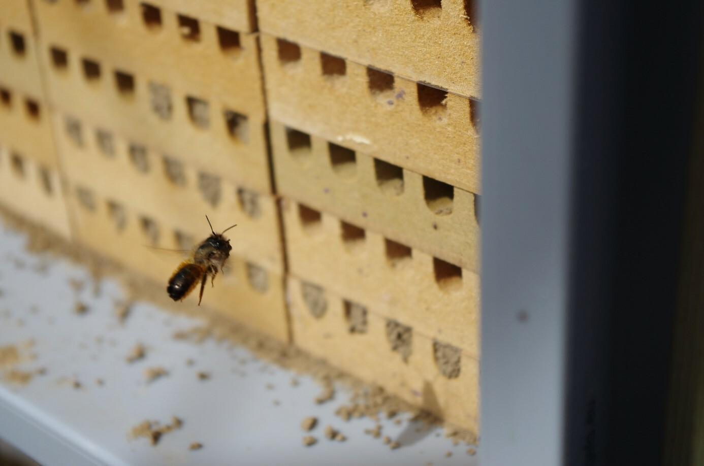 Ein Mauerbienen-Weibchen fliegt in ihr Nest.
