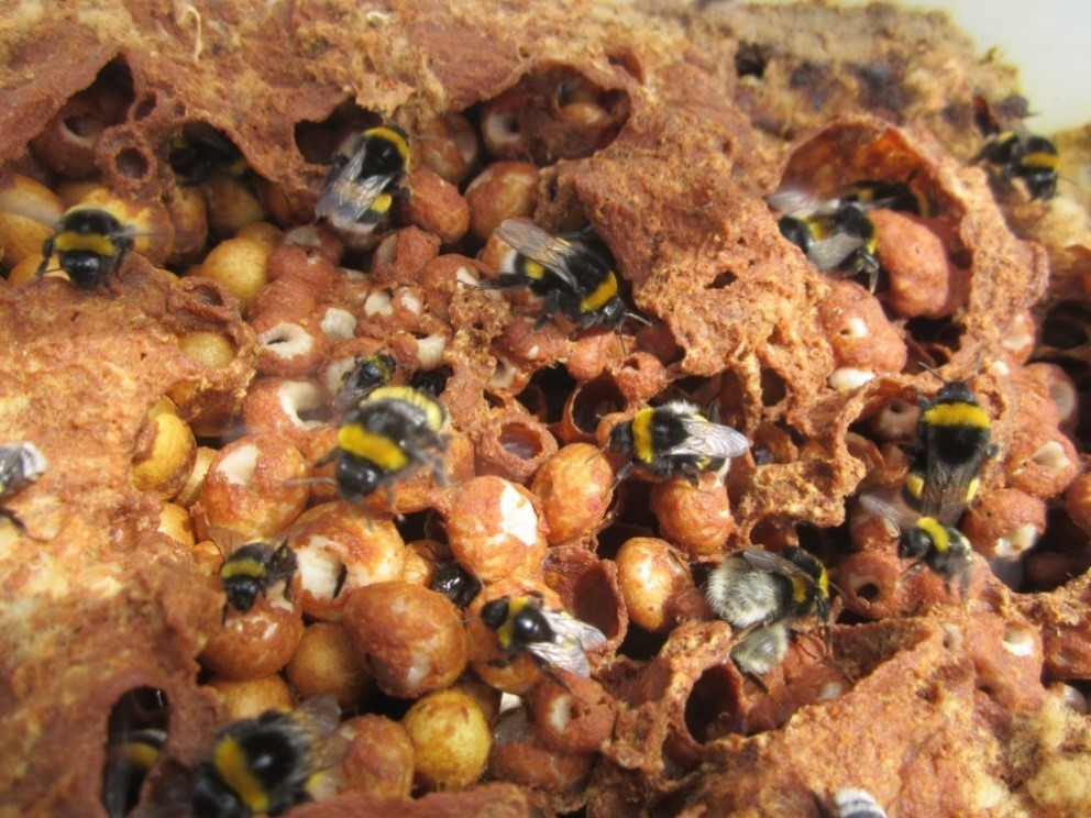 Too much maize in the environment harms bumblebees