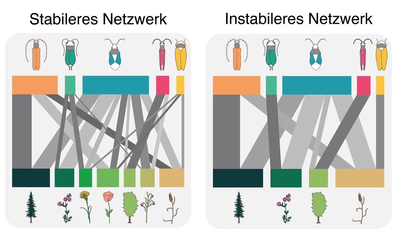 Zwei beispielhafte Netzwerke von Insekten-Pflanzen-Interaktionen. Das linke Netzwerk ist reicher an Pflanzenarten, was die Insekten eher vor dem Verlust sämtlicher Futterpflanzen bewahrt. Darum ist es stabiler. Im rechten Netzwerk verschwinden spezialisierte Insekten, sobald einzelne Pflanzen verschwinden. Darum ist es weniger stabil.