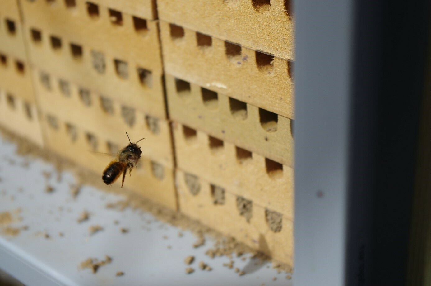 Female red mason bee approaching her nest