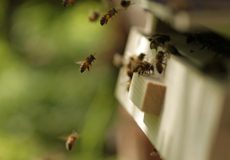 Wer fliegt auf Erdbeeren? Das Team nahm sowohl solitär lebende Bienen als auch sozial lebende Bienen unter die Lupe.