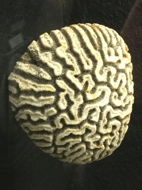 Korallenskelett aus dem Zoologischen Museum der Universität Göttingen