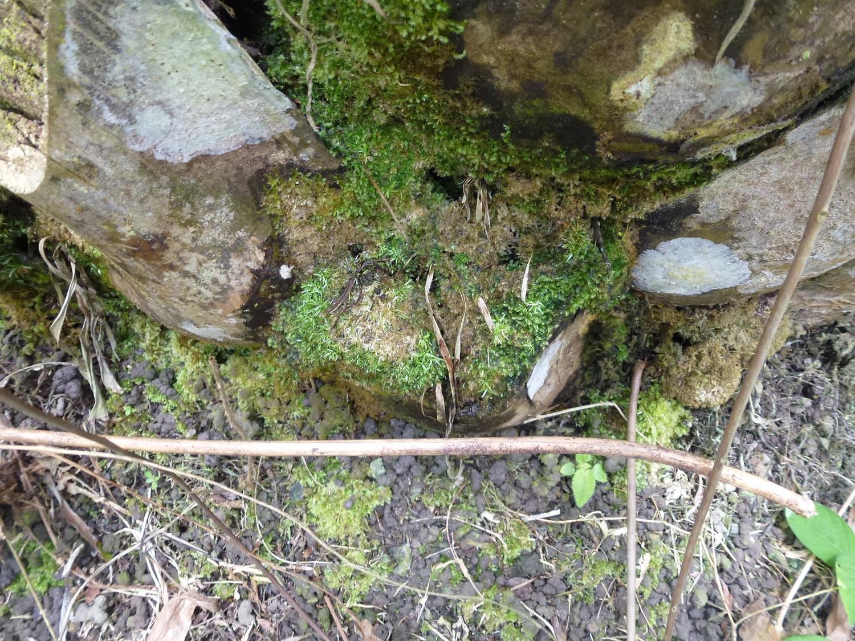 Moos und Geröll sammeln sich in den Achseln der abgeschnittenen Palmwedel und bilden Taschen mit Erde, in denen viele Bodenorganismen leben.