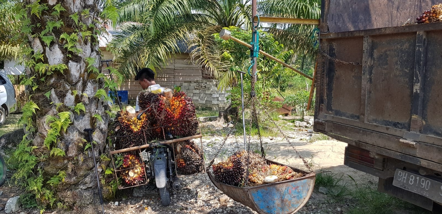 Around half of the palm oil used worldwide is produced by small farmers. Transport of the harvested oil palm fruits to a collection point in Indonesia.