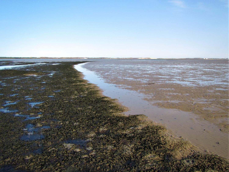 Die sich rasch ausbreitende Alge Vaucheria velutina häuft über sandigem Wattboden große Mengen Schlick an (linke Seite). Am Horizont liegt die Insel Sylt.