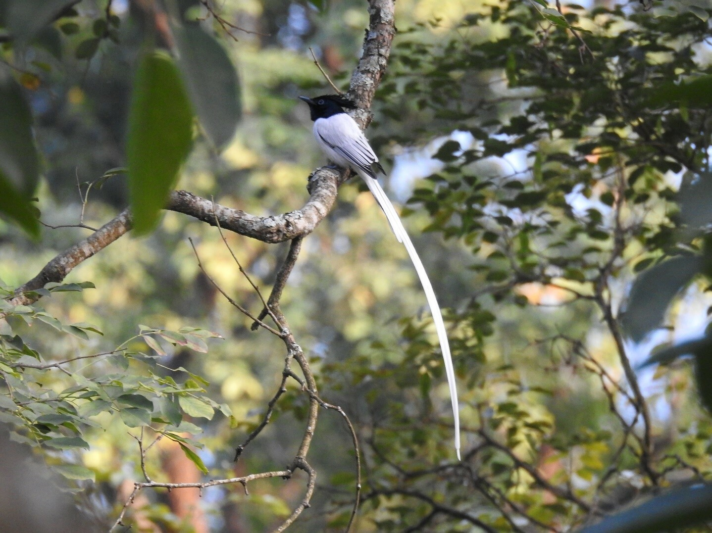 Many birds, like this Indian Paradise Flycatcher (Terpsiphone paradisi) which eats insects, would not thrive in an urban environment.