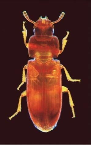 Roter Mehlkäfer Tribolium castaneum: Der