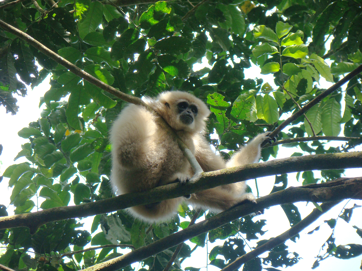 Gibbons such as this white-handed gibbon (Hylobates lar) are considered the classic pair living primates. They strengthen their pair bond through characteristic duet calls.