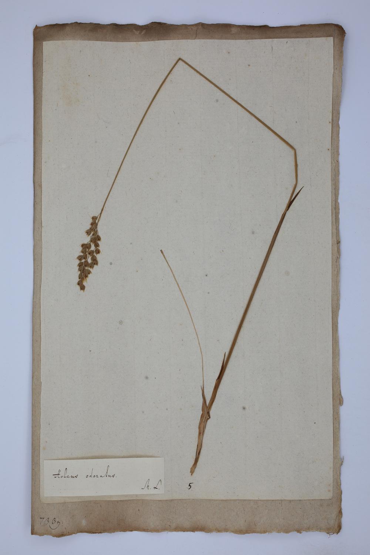 Duftende Mariengras: originale Herbarpflanze des Naturforschers Carl von Linné.