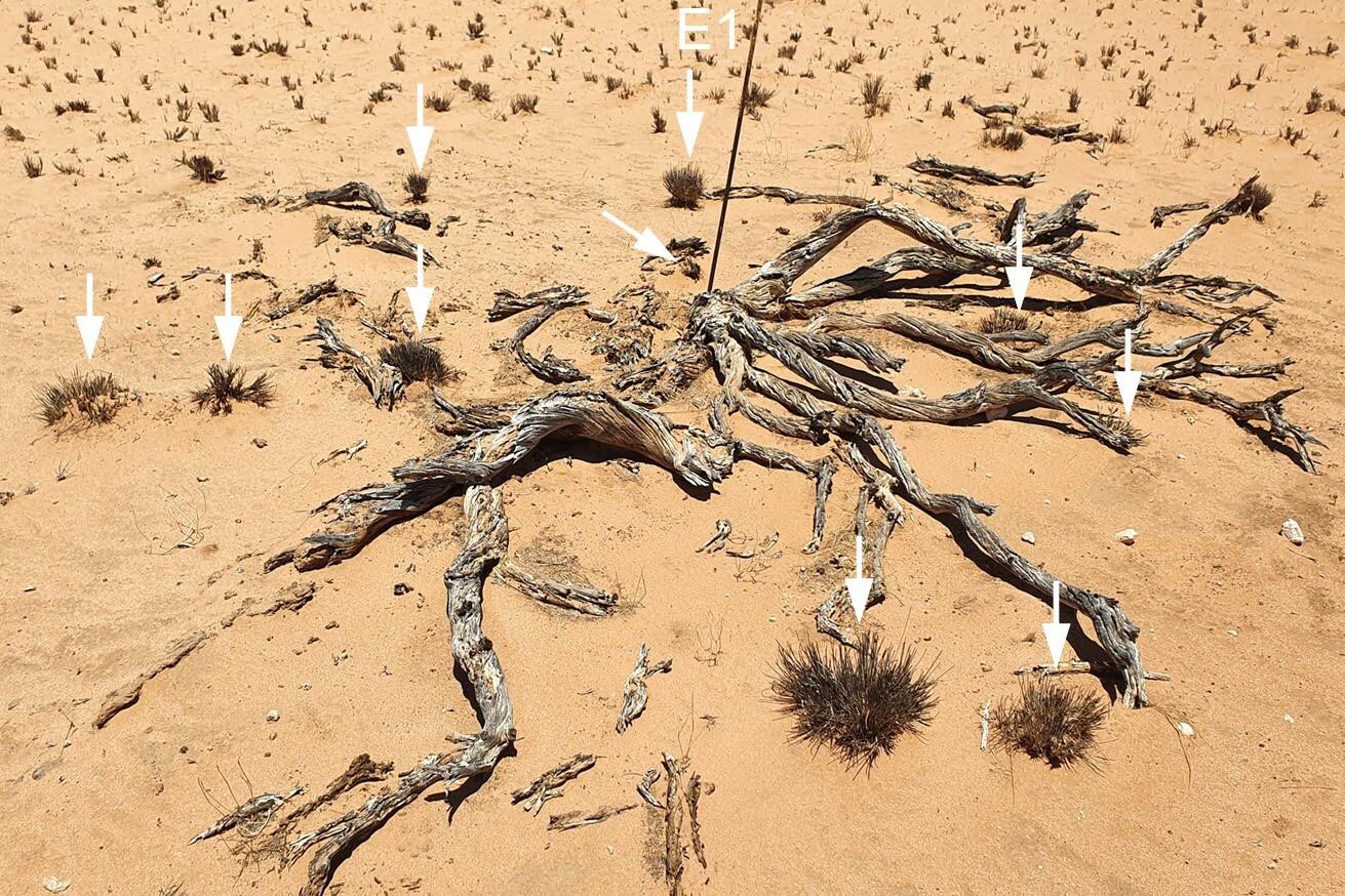 Ein verrottender Euphorbia-damarana-Busch, der vor mehr als vier Jahrzehnten von G.K. Theron markiert wurde. Viele große Gräser wuchsen um den Metallstab herum.