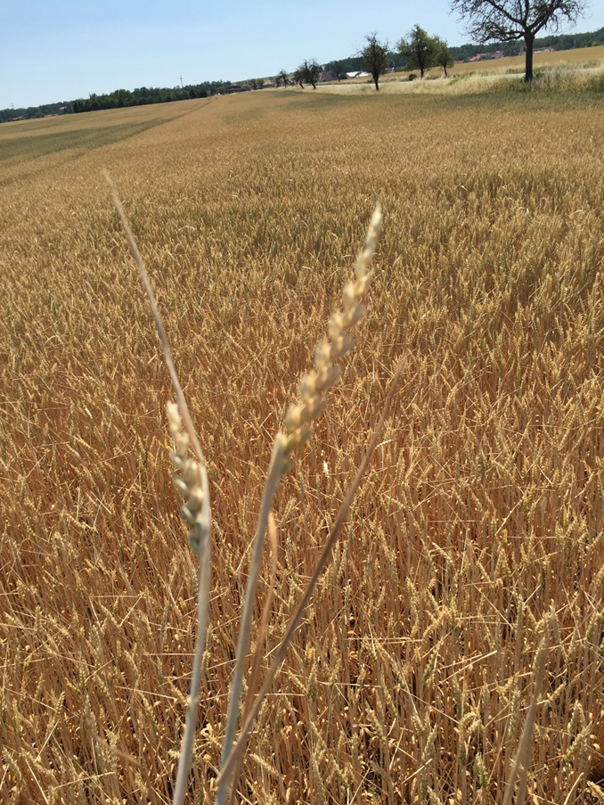 If global greenhouse gas emissions continue to rise unabated, the risk of extreme droughts simultaneously affecting central wheat-growing areas could increase three to fourfold by the end of the century. This is the conclusion of an international study involving the University of Göttingen.