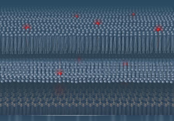 Artifizielle Zell-Membran mit fluoreszenten Molekülen (rote Kugeln) über einer Graphenschicht (hexagonales Gitter), wie sie für die smMIET-Messungen verwendet wird.