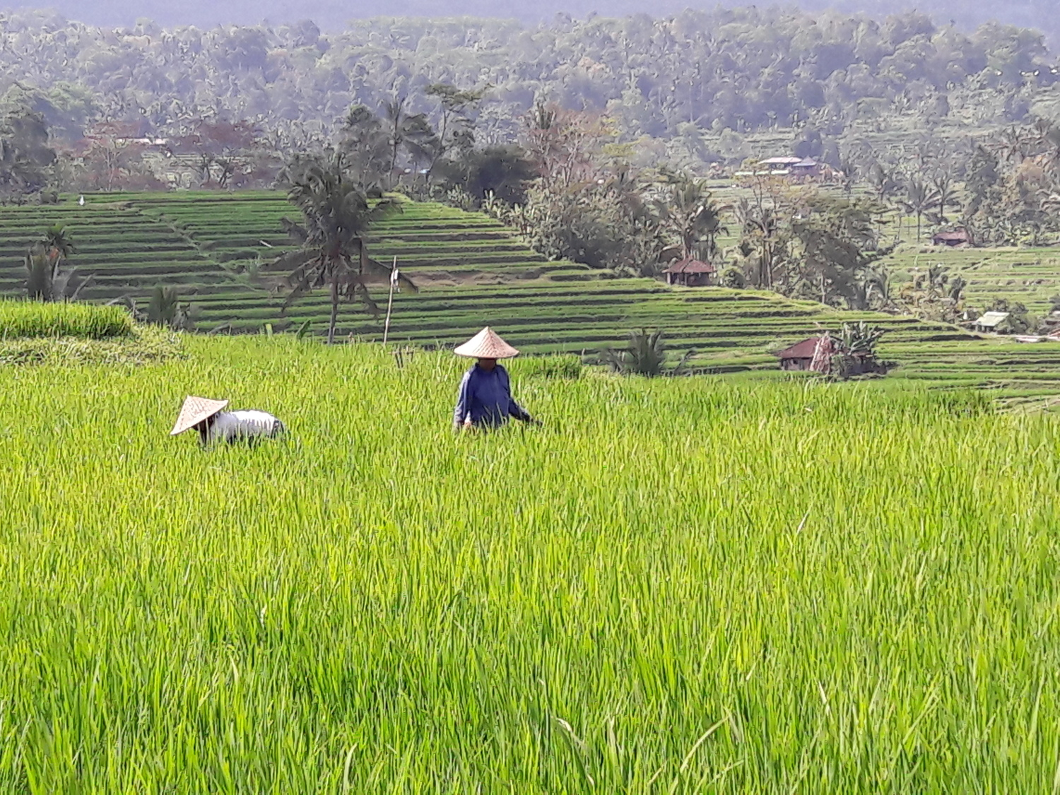 Poor people's diets are often dominated by staple foods. Rice cultivation in Indonesia.