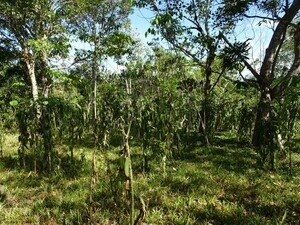Vanilla agroforest in Madagascar, which was established on an open fallow land. The emergence of trees offers the chance to provide a habitat for certain additional species. Furthermore, tree growth contributes to carbon storage.